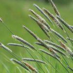 timotei runsassatoinen heinäkasvi